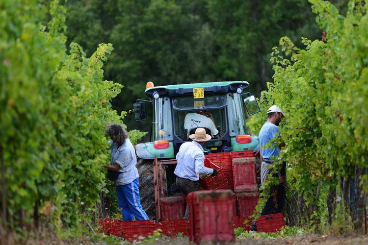 In de wijngaarden bij Decugnano dei Barbi